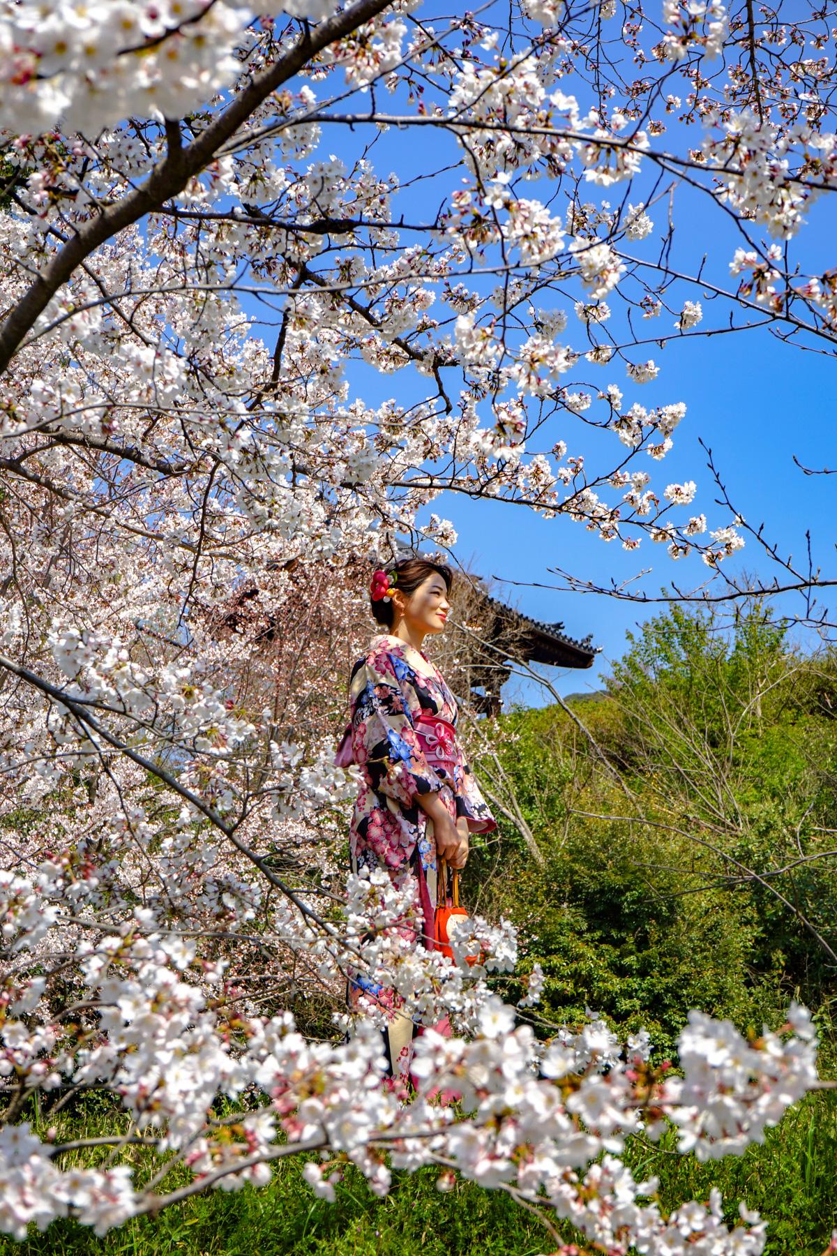Mujer vestida de geishas entre cerezos