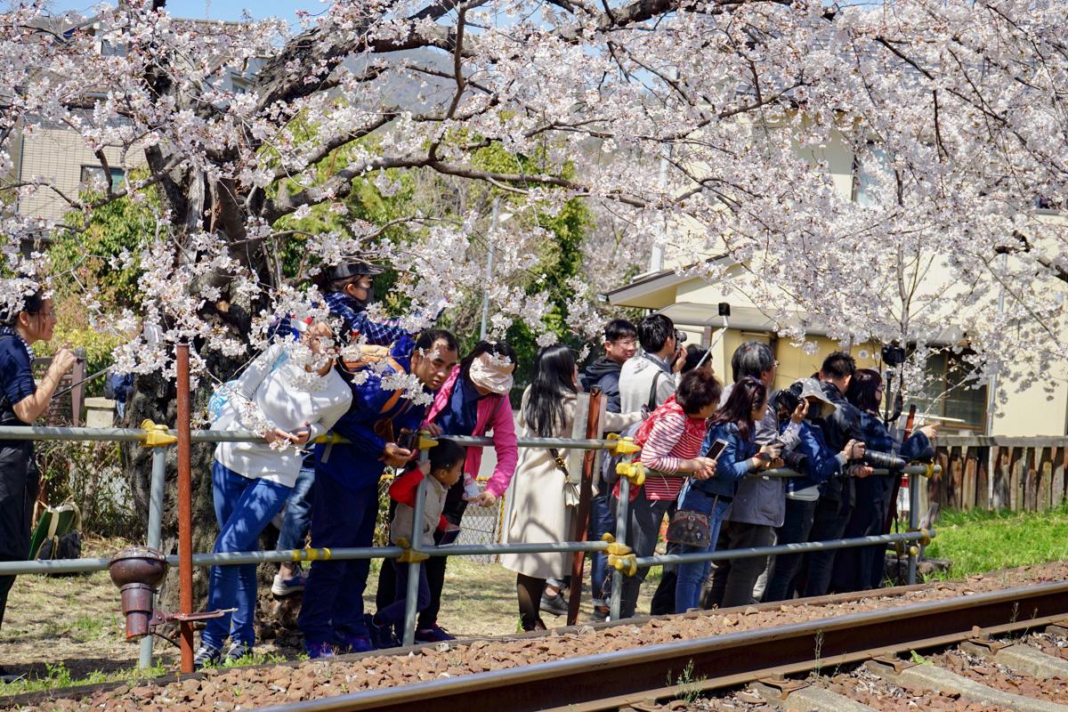 Tranvía de Arashiyama pasando por el túnel de cerezos.