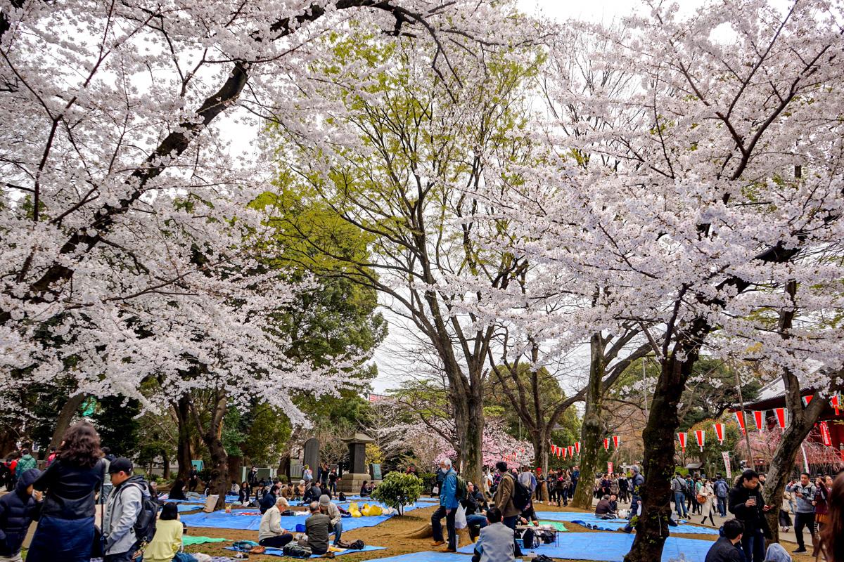 Hanami en Tokio: Parque Uoeno