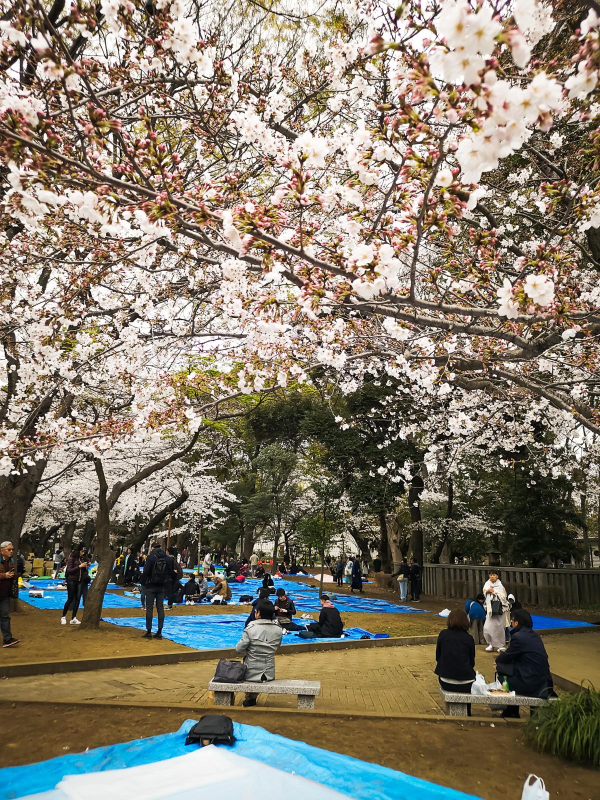 Sakura en Oueno Park