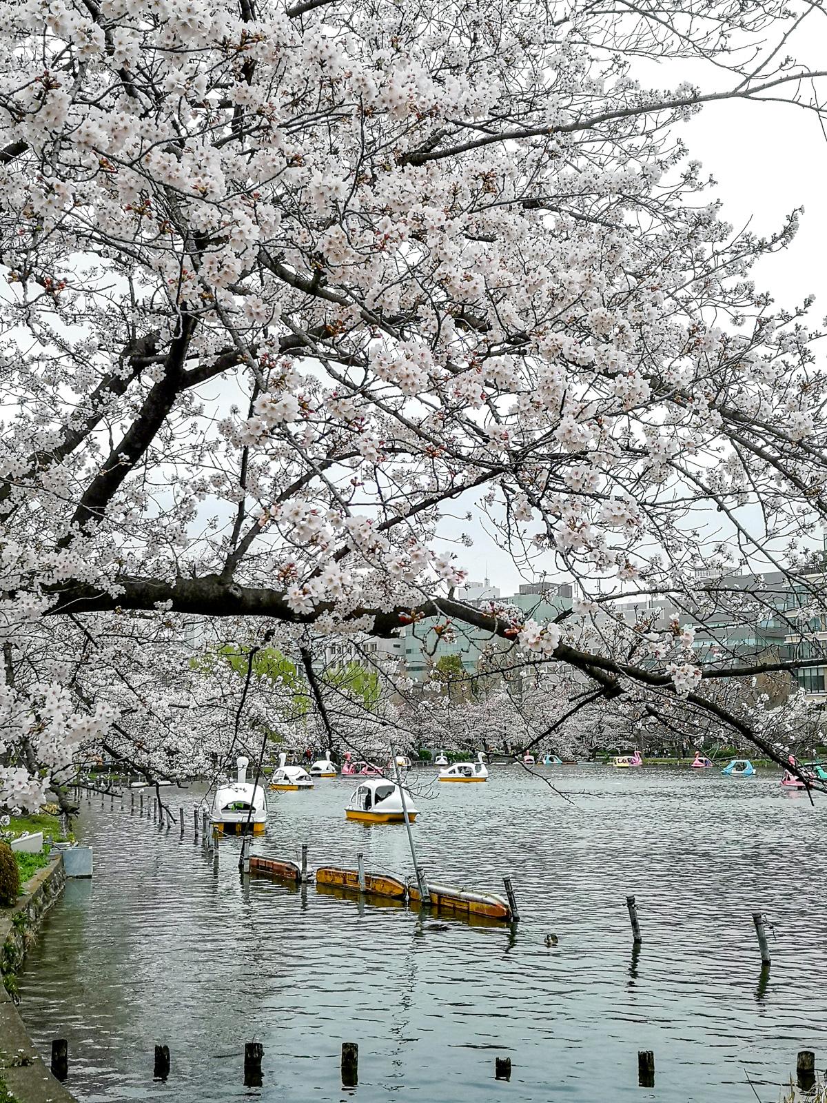 Estanque de shinobazu en el parque de ueno.